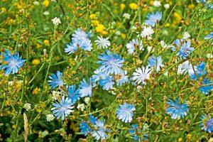 flori comestibile cicoare