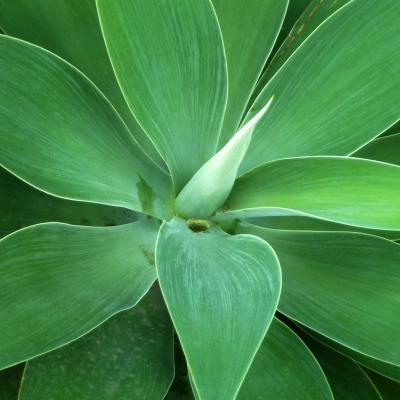 agava.jpg